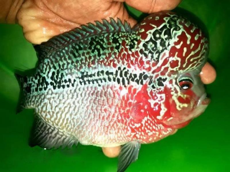 Cá La Hán red Magma cần bán