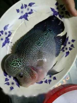 Bán cá La Hán full châu