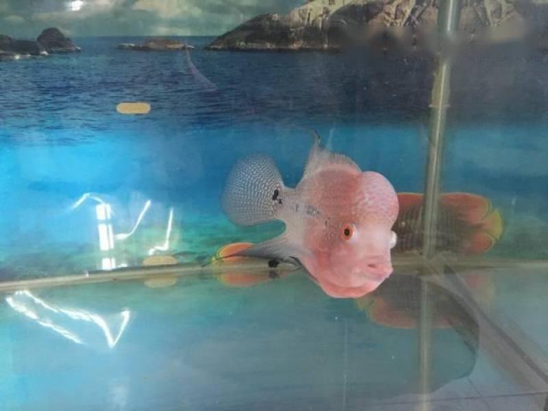 Bán cá La Hán 4 ngón nhà nuôi