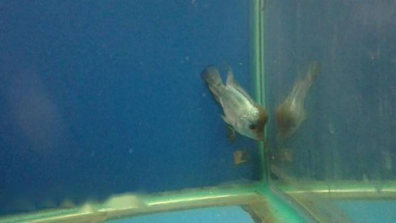 Cá la hán thai silk