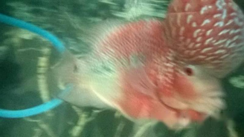 Bán cá La Hán thái đỏ châu full đầu size lớn