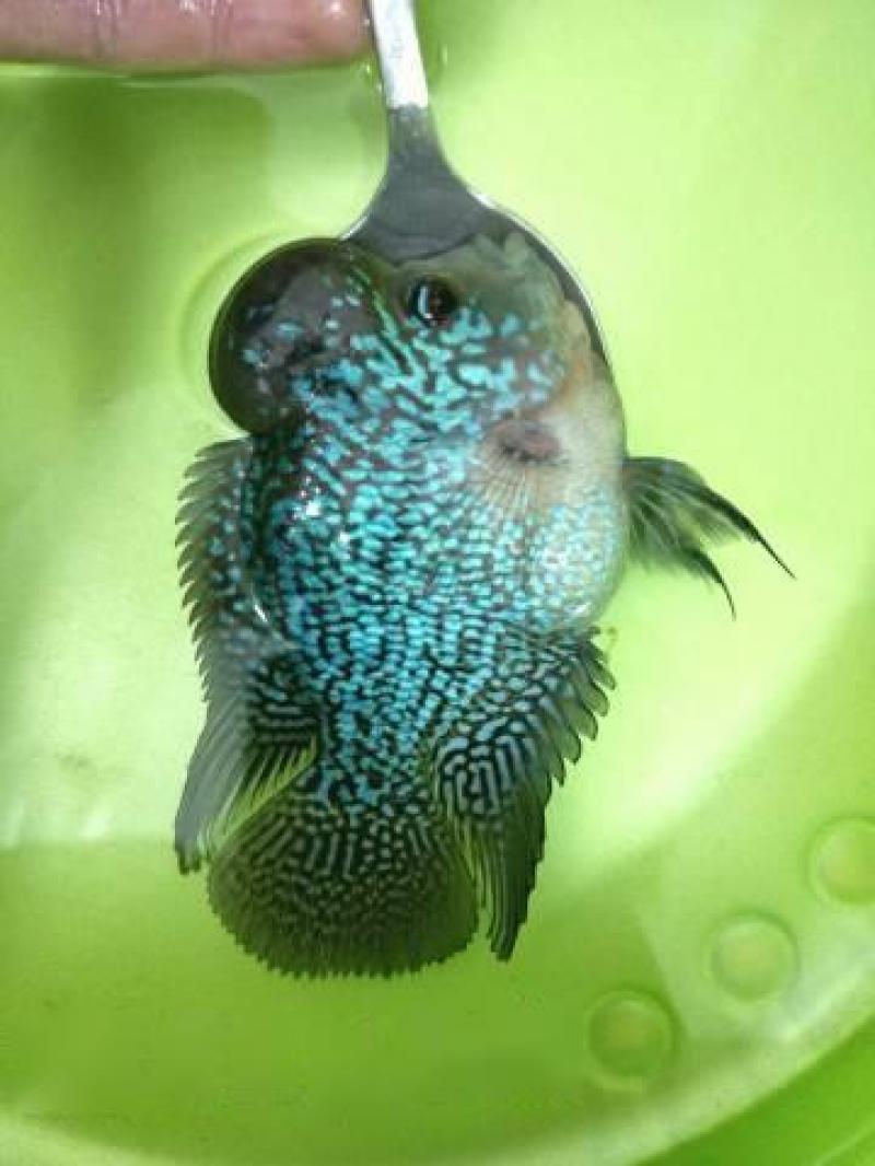 Bán cá La Hán châu xanh
