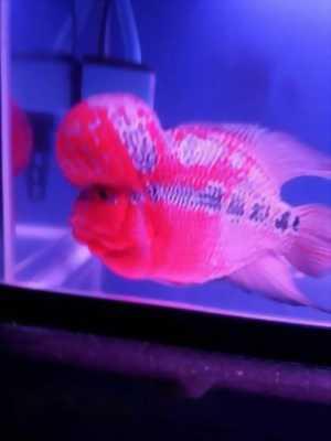 một con cá La Hán Phước Lộc Thọ
