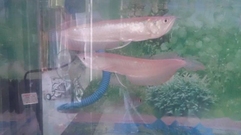 Hồ và cá rồng