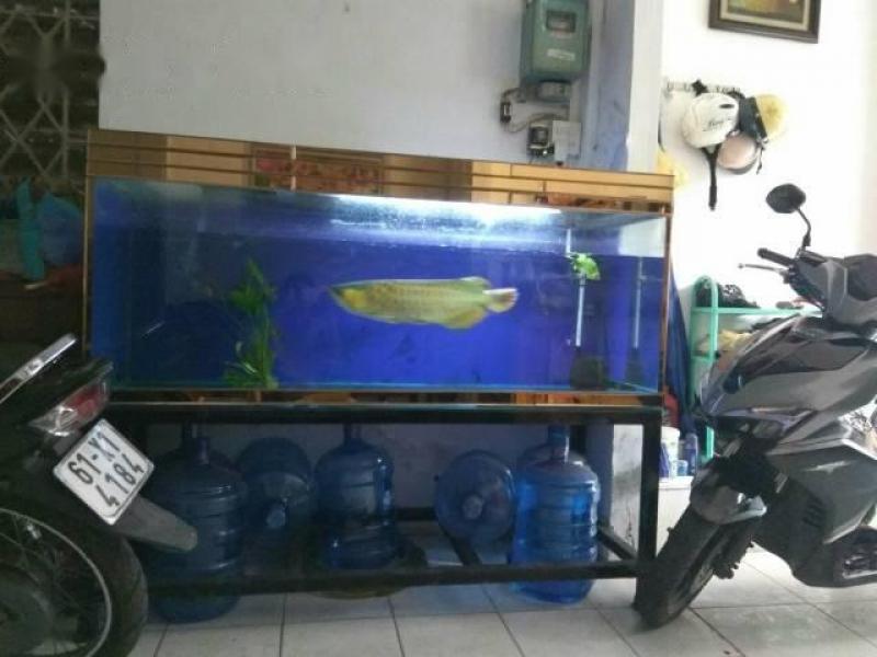 Bán cá rồng huyết long Ankido