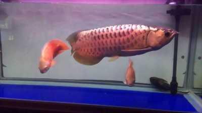 Bán rẻ cá rồng size 70 với hồ kiếng Nhật