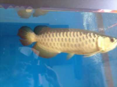 cá rồng size 60 màu sắt