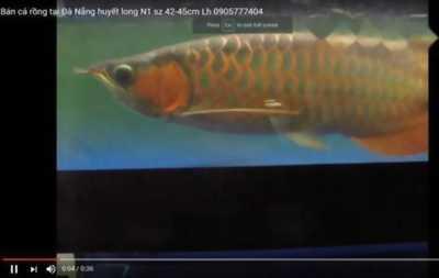 Bán cá rồng Huyết Long N1 size 42-45cm