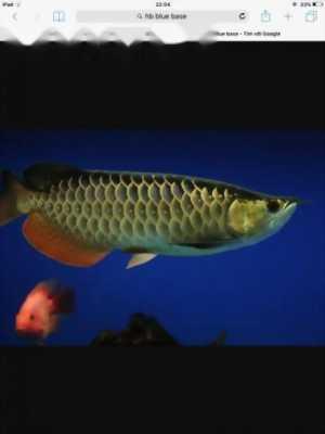 Cá rồng hb bluebase