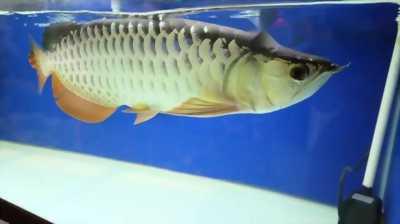 cá rồng Highback SP
