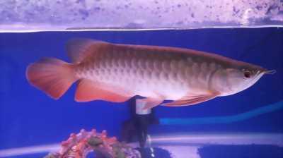 Cá rồng 24k