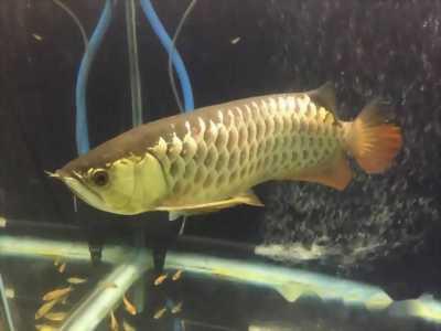 Bán lại cá rồng gold size gần 50 luôn cả hồ