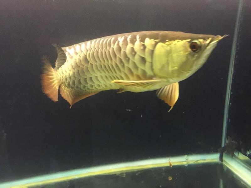 Cá rồng gold lớn và hồ