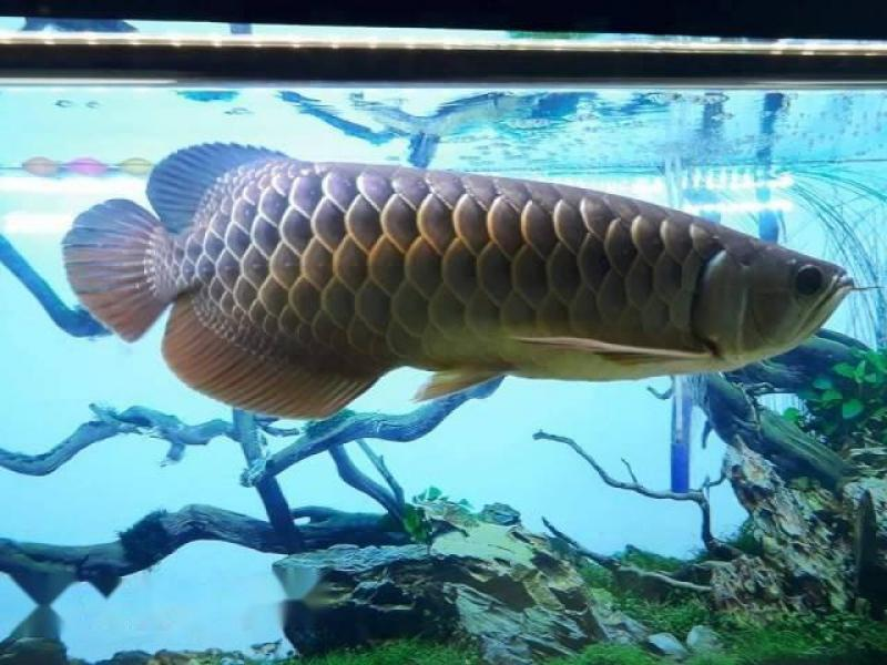Bán cá rồng size 40