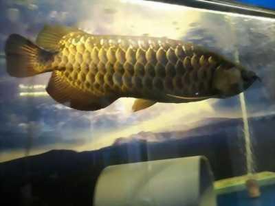 cá rồng vàng 52cm