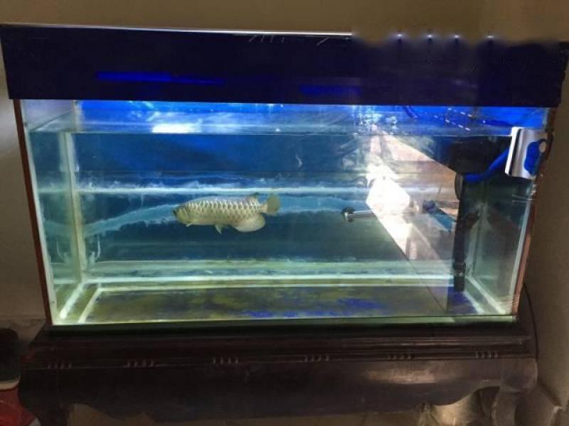 Bán cá rồng Malaysia
