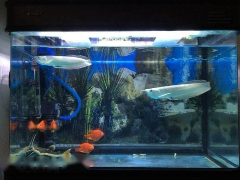 cá rồng ngân long và cá phụ kiện