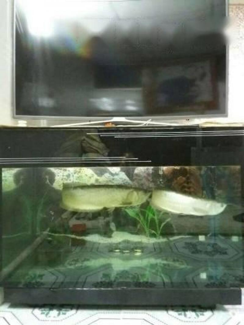 Cá Rồng Ngân Long 3 năm