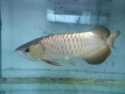 Bán cá rồng Spleendoor và bể