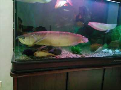 Cần bán con cá rồng ngân long size 70cm