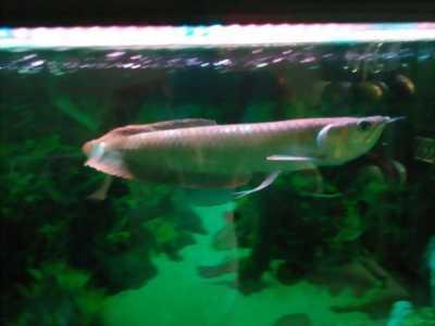 Cần bán cá rồng ngân long size 60cm