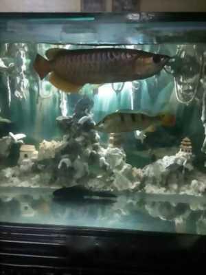 Cần bán cá Rồng Highback