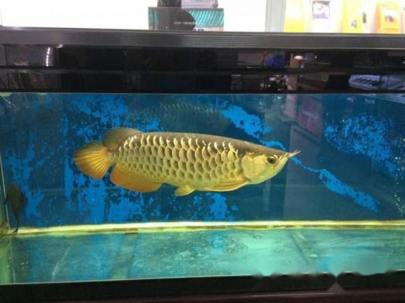 Cá rồng đại 24k9999