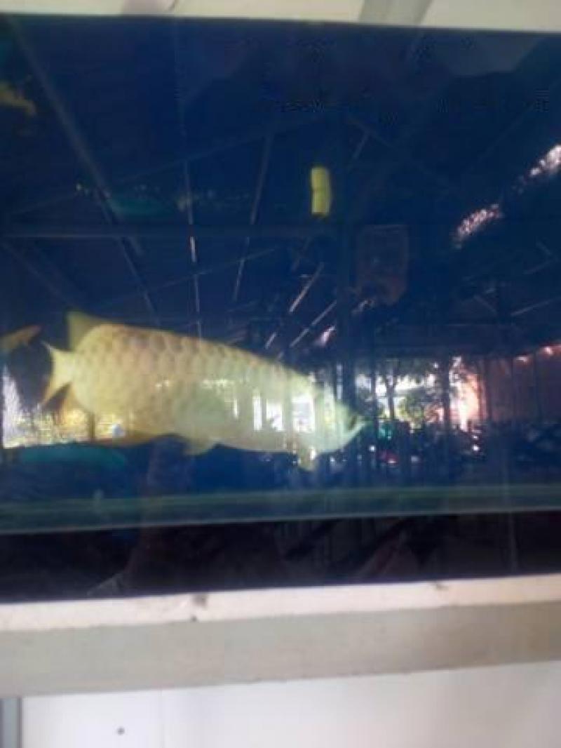 cá rồng 24k9999 bến lức Long An