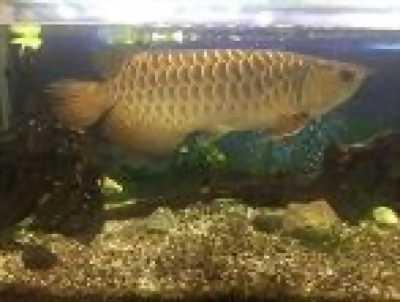 Bán cá rồng Cao lưng quá bối 24k9999 size 50