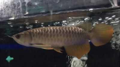 Cá rồng thanh long