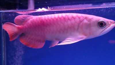 Cá rồng hồng long giá hợp lý