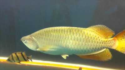 Cá rồng ngan Long size 30