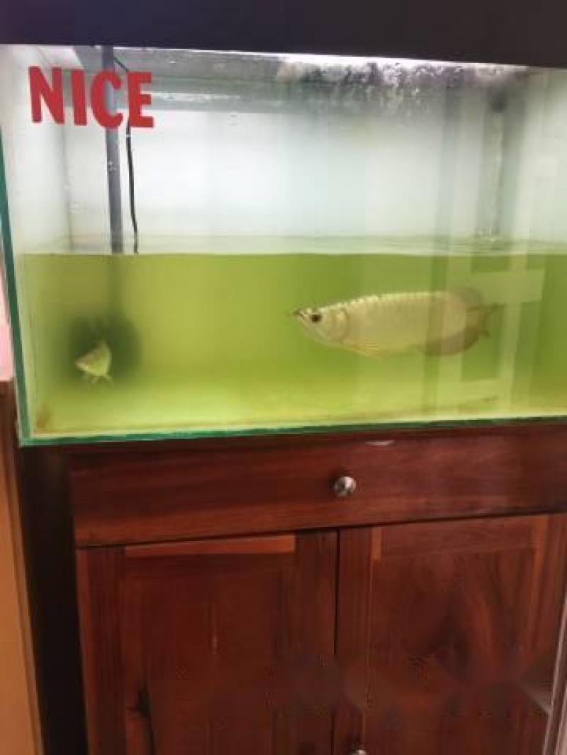 Cá rồng bối