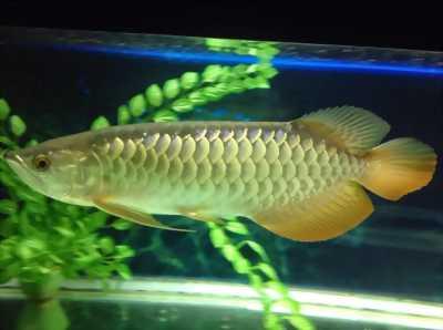 Cá rồng đầu vàng Blulbase Fullhelmet