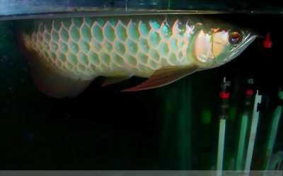 Bán cá rồng highback blue base size 17-18 .