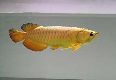 Bán cá rồng royal gold, cá chuẩn không tật lỗi