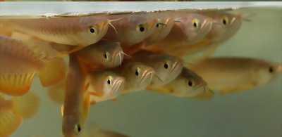 Cá rồng roya gold size 27+  xuất xứ hồng anh
