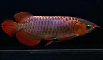 Cá Rồng Bối Tím Cá quá đẹp , Viền mỏng tím ngắt