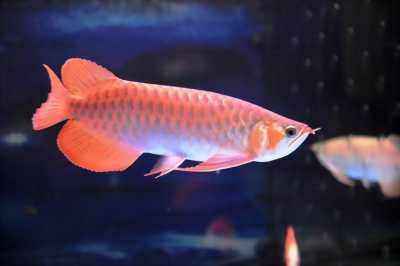 Cá rồng Ngân Long đỏ lam vàng bốn màu giá rẻ nhất