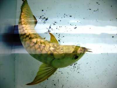 Cá rồng kim long úc cực đẹp giá sốc