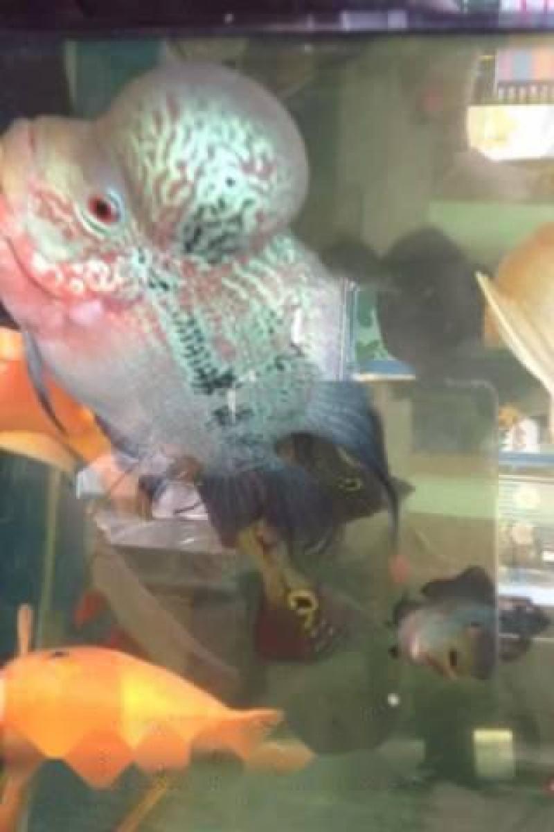 Cần bán La Hán,  cả hby,  cả tcth,  cá rồng