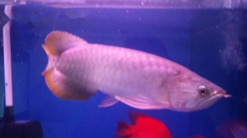 Cá rồng Hồng long size 43