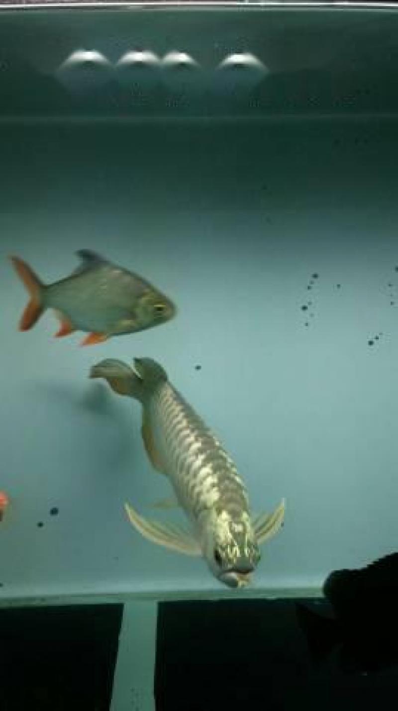 Cá rồng golden crossback