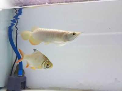 cá rồng 24k size 18-19cm