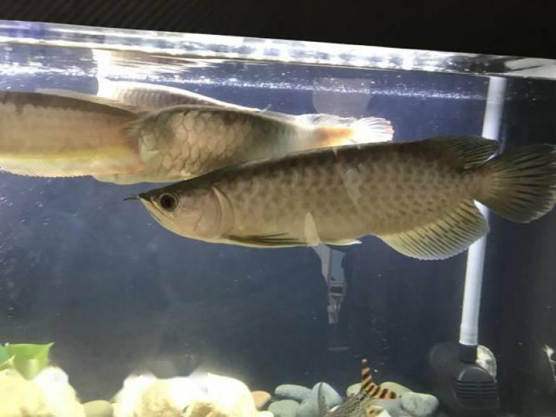 Cá rồng thanh long size 4x