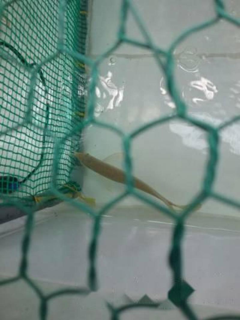 Cá rồng ( Blue crossback and Blue highback )
