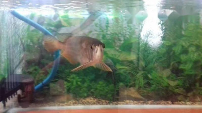 Cá rồng highback