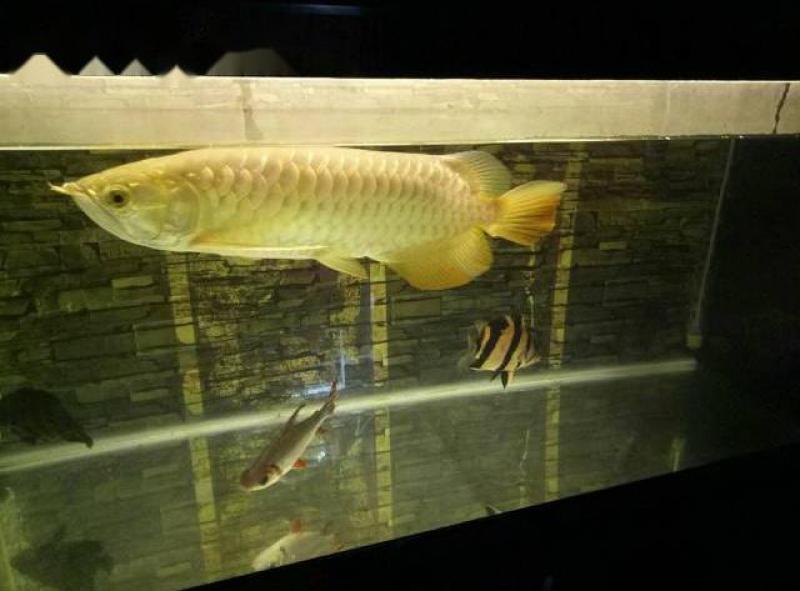 Bán rẻ cá rồng size 50