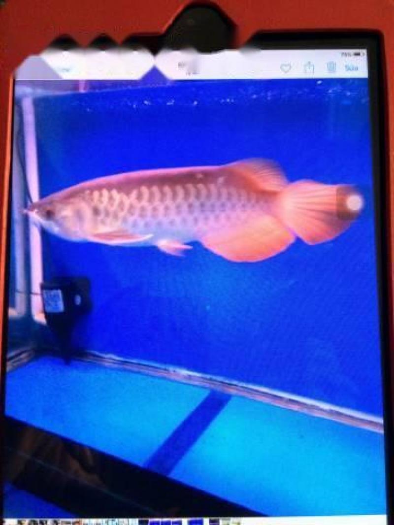 Cần bán cá rồng kỳ lân