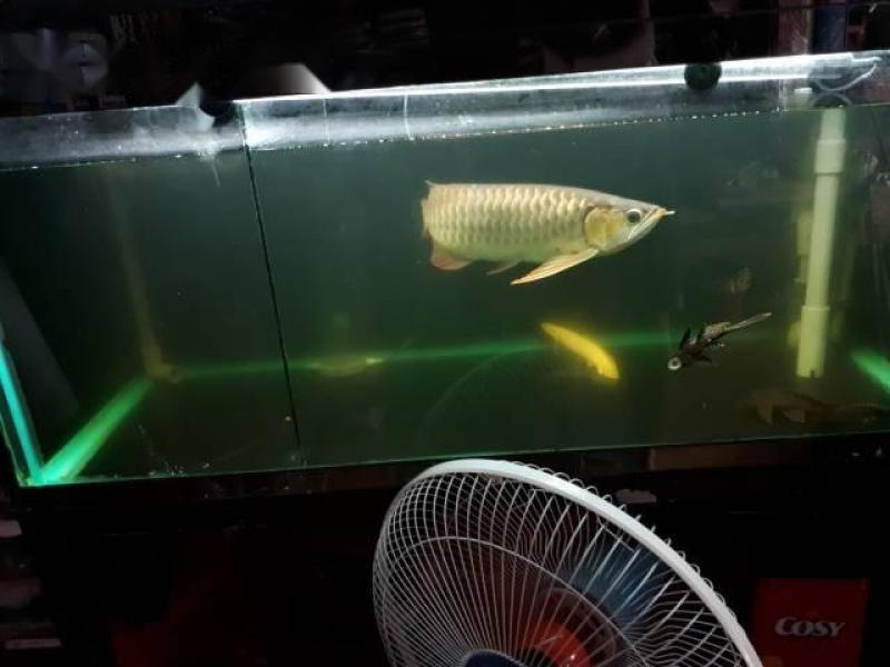 Cá Rồng huyết long size 35